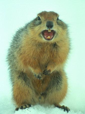 Arctic Ground Squirrel Barring its Teeth, Northwest Territories, Canada