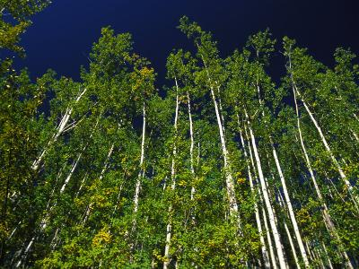 Forest of Poplar Trees, Yukon Territories, Canada
