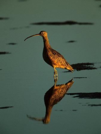 Long-Billed Curlew, Numenius Americanus, and Reflection in Calm Water, Corte Madera, California