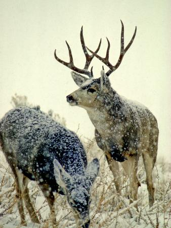 Mule Deer Buck Watches over His Doe, Yellowstone National Park, Wyoming