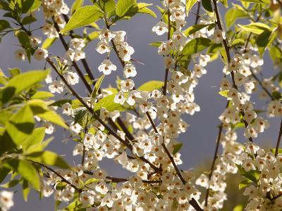 Mountain Silverbell Flowers, Jamaica Plain, Massachusetts USA