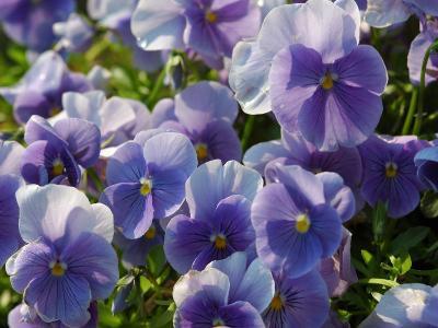 Pansy Flowers in a Garden, Belmont, Massachusetts, USA