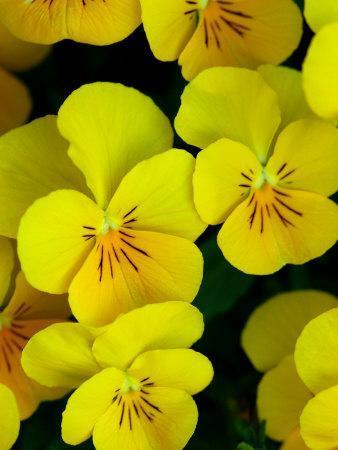 Close-Up of Pansies Flowers, Belmont, Massachusetts, USA