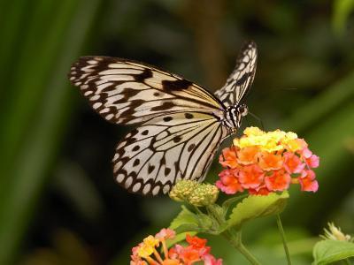 Tree Nymph Butterfly Drinks Nectar from Lantana Flowers, Idea Leuconoe