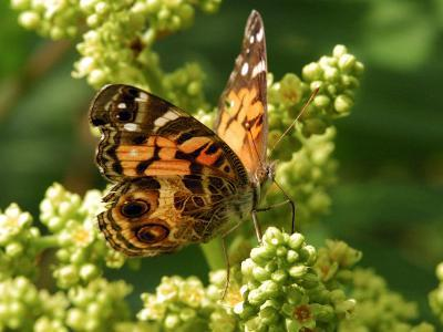 American Painted Lady Butterfly Visiting Flowers for Nectar in Meadow, Belmont, Massachusetts, USA