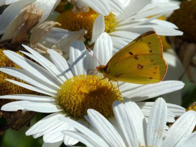 Alfalfa Butterfly Drinking Nectar from a Daisy, Belmont, Massachusetts, USA