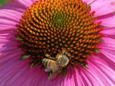 Bee Driking Nectar from a Purple Coneflower, Belmont, Massachusetts, USA