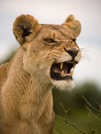 Portrait of a Snarling Aggressive Lioness, Duba Plains, Okavango Delta, Botswana