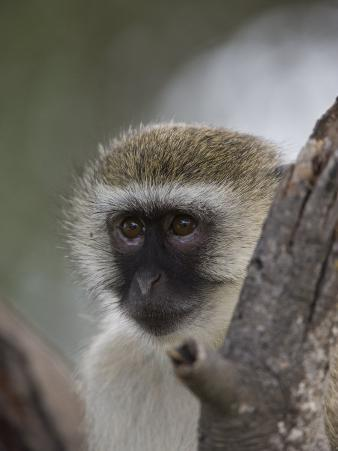 Black-Faced Vervet Monkey Perched in a Tree, Mombo, Okavango Delta, Botswana