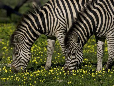 Two Common or Burchell's Zebras Grazing Among Wildflowers, Mombo, Okavango Delta, Botswana