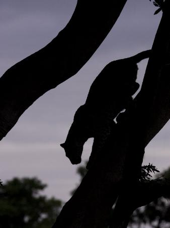 Silhouetted Leopard Descending a Tree Branch at Twilight, Mombo, Okavango Delta, Botswana