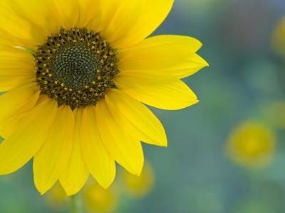 Close-Up of a Sunflower, Flagstaff, Arizona