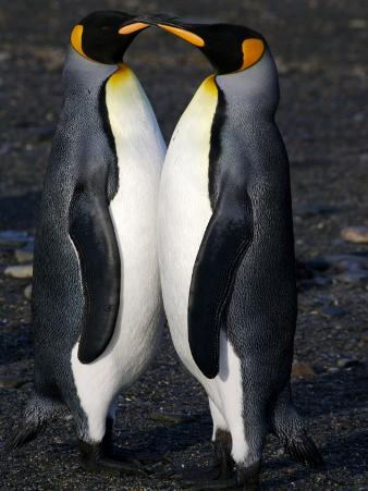 Pair of Courting King Penguins Touching Bills, Gold Harbor, South Georgia Island, Antarctica