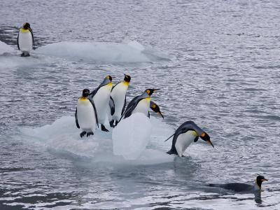 King Penguins on Floating Ice, a Rarity, Gold Harbor, South Georgia Island, Antarctia