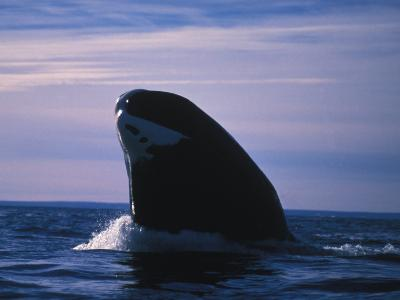 Bowhead Whale, Balaena Mysticetus, Breaching Water's Surface, Baffin Island, Canada