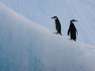 Pair of Chinstrap Penguins on an Iceberg, Antarctica