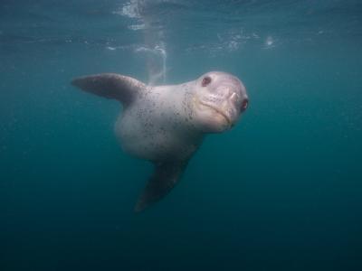 Leopard Seal Hunting Chinstrap Penguins Underwater, Antarctica