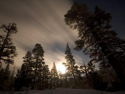 Conifer Trees in Moonlight at Sonora Pass in Winter, Stanislaus National Forest Reserve, California