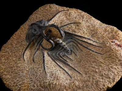Trilobite Fossil from Morroco, Dicranurus Species, Devonian Era, Arlington, Massachusetts, USA