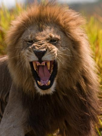Male African Lion, Panthera Leo, with a Snarling Grimmace on His Face