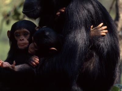 Twins, Extremely Rare in Chimpanzees, with their Mother, Gombe Stream National Park, Tanzania