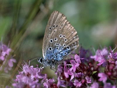 Large Blue, Maculinea Arion, Butterfly Sitting on Pink Flowers, Silvakra, Sweden
