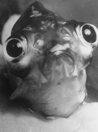 Magnified Frontal Closeup on Bugeyed Head of Fish