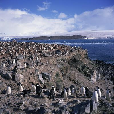 Chinstrap Penguins in a Rookery on Livingstone Island in the South Shetland Islands in Antarctica