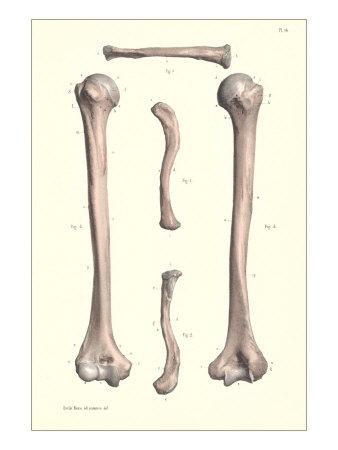 Long Bones of the Leg
