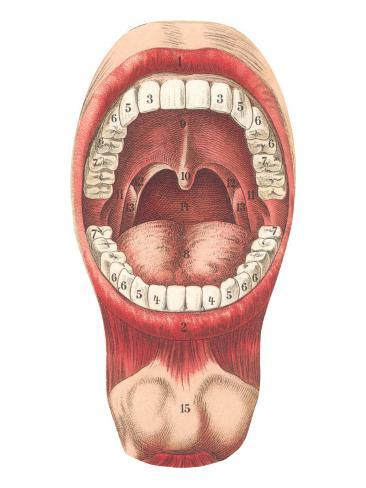 Diagram Of Mouth And Teeth Photo At Allposters Com