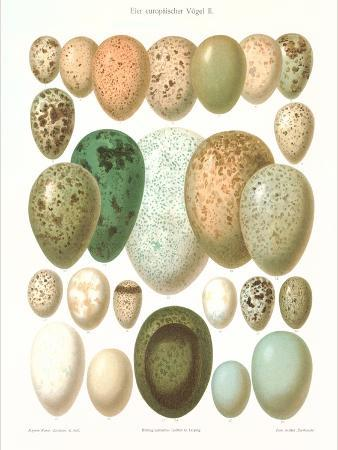 Eggs of Birds Found in Eurpoe
