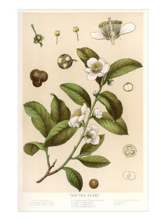 Botanical Image of Tea Plant