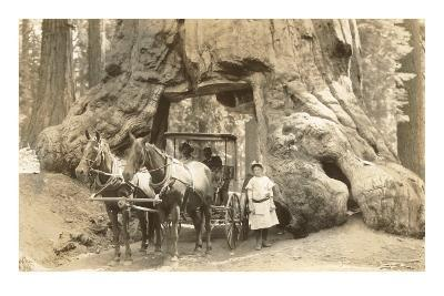 Horse-Drawn Carriage Going Through Redwood