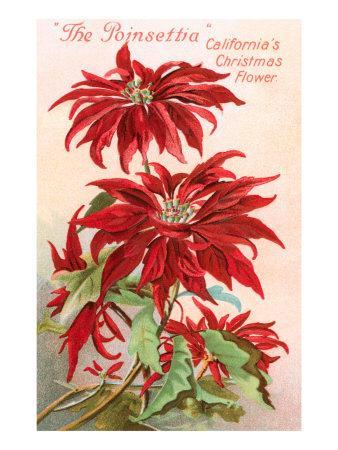 Poinsettias, California Christmas Flower