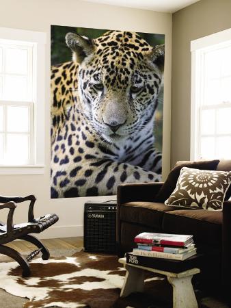 Wildlife in Belize, Jaguar