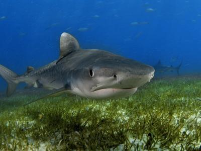 A young tiger shark swimming over turtle grass