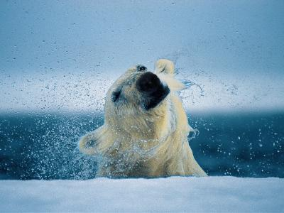 A polar bear shakes water off its head as it breaks the surface