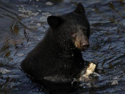 A black bear feeds on salmon in Anan Creek