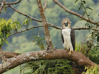 A female Philippine eagle perches on a branch beside her nest