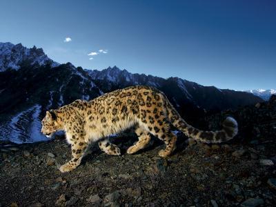 A snow leopard traverses a rocky slope