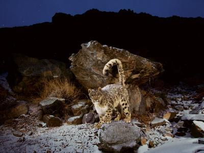 Their tail helps snow leopards stay warm and keep their balance