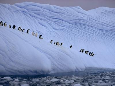 Adelie penguins totter single file toward open water in Antarctica