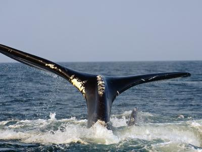 The tail of a right whale showing white entanglement scars