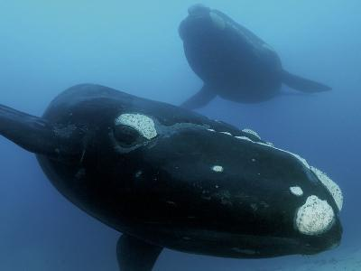 Pair of southern right whales in the Auckland Islands Marine Reserve