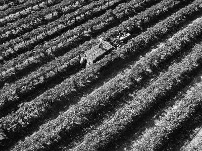 Subject: Aerial of Grape Harvest Workers. Fresno, California