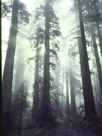 Person Dwarfed by Massive Redwoods Breaking Through Morning Fog and Sunlight