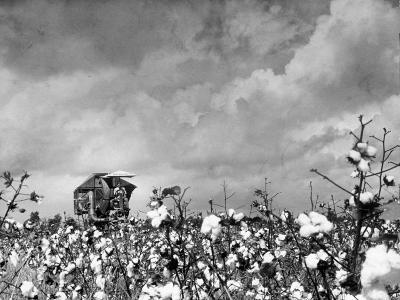 Cotton Picking Machine Doing the Work of 25 Field Hands on Large Farm in the South