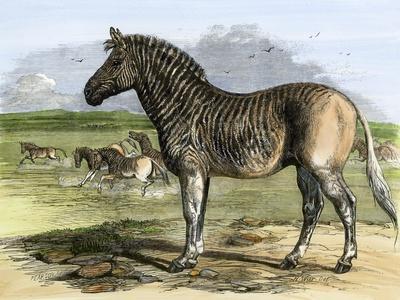Quagga in the London Zoo, Now Extinct, 1850s