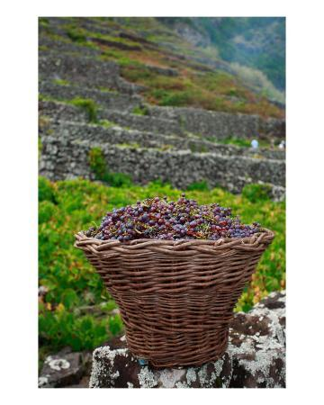 Grape Harvest In Azores Islands