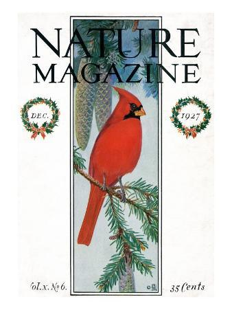 Nature Magazine - View of a Cardinal Perched on a Pine Branch, c.1927